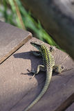 Green camouflaged lizard Stock Images