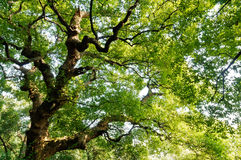 Green Camphor tree. In the spring Royalty Free Stock Photography