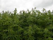Green canabis on marihuana field farm. Weed leaf on a ganja plantation canabis farm marihuana field royalty free stock photos