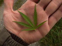 Green canabis on marihuana field farm stock photography