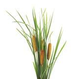Green cane. Stock Photos