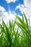 Green cane Royalty Free Stock Image