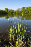 Green cane near pond Stock Photography