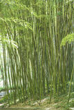 Green canes of giant bamboo in a garden Royalty Free Stock Photo