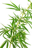 Green cannabis branch Royalty Free Stock Image