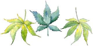 Green cannabis leaf. Leaf plant botanical garden floral foliage. Isolated illustration element. Aquarelle leaf for background, texture, wrapper pattern, frame vector illustration