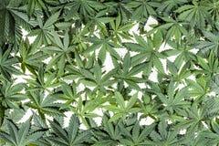Green cannabis leafs Stock Photos
