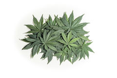 Green cannabis leafs. Pile of green cannabis / hemp / ganja / marihuana leafs on white background Royalty Free Stock Photos