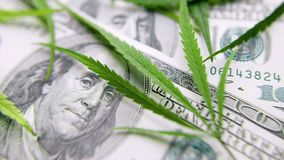 Free Green Cannabis Leaves, Marijuana On The Background Of Hundred US Dollars Money. Hemp, Ganja Leaf. Business Concept, Marijuana Drug Stock Photos - 145251643