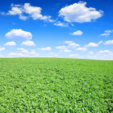 Green canola Stock Photo
