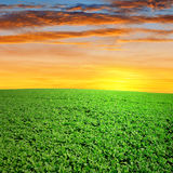 Green canola Stock Images
