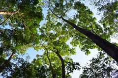 Green canopy. Gazing up into the green canopy of trees refreshes our mind, makes us more peaceful and makes us realize the infinite curative power of nature Royalty Free Stock Image