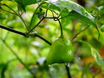 Green Capsicum - Bell Pepper - Grown in Spice Plantation. This is a photograph of green capsicum - bell pepper - grown in a spice plantation Stock Photos