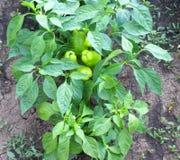 Green capsicum. Growing in the garden stock image