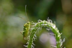 Green capsid bug macro photography. Green bug with dew drops macro photography. Nymph green capsid bug Stock Photography
