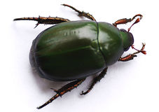 Green Carab Beetle Stock Photo