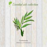 Green cardamon, essential oil label, aromatic plant Stock Photos