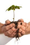 Green care. Young tree in two old hands. Taking care of the environment stock images