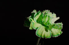 Green Carnation on Black Background Horizontal