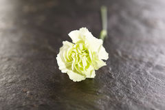Green Carnation Flower Royalty Free Stock Image