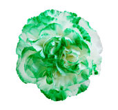 Green Carnation Flower Stock Photography