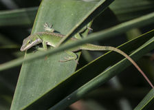 Green Carolina Anole lizard, Athens, Georgia USA. Green Anole common chameleon lizard on Yucca leaf. An arboreal lizard found primarily in the southeastern Royalty Free Stock Images