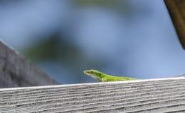 Green Carolina Anole Lizard. Green Carolina Anole chameleon lizard, Anolis carolinensis, on blue sky negative space background. Athens, Georgia. USA stock photos