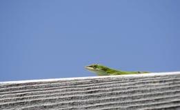 Green Carolina Anole Lizard. Green Carolina Anole chameleon lizard, Anolis carolinensis, on blue sky negative space background. Athens, Georgia. USA royalty free stock images