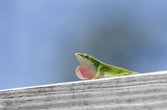 Green Carolina Anole Lizard royalty free stock photography