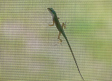 Green Carolina Anole Lizard on Screen. Although often kept as a pet, this green Carolina anole lizard on the screen of a home is wild, and must compete with non Royalty Free Stock Photography