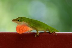 Green Carolina Anole. This male Green Carolina Anole demonstrates his dewlap (throat fan stock photos