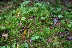 Green carpet of clover and moss stock photography