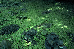 Green Carpet of Floating Pond Plants Stock Image