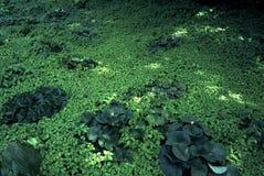 Green Carpet of Floating Pond Plants stock image