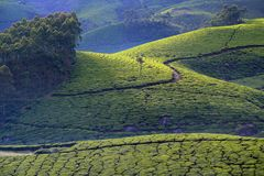 GREEN CARPET-MUNNAR. The rolling hills around Munnar, South India`s largest tea-growing region, are carpeted in emerald-green tea plantations, contoured Royalty Free Stock Photography