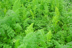 Green carrot crops Stock Photography