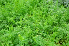 Green carrot crops Stock Photo