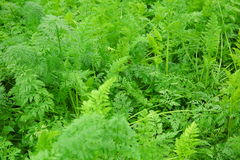 Green carrot crops Stock Image