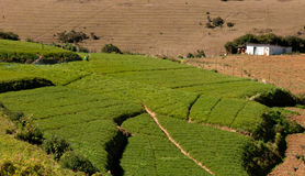 Green carrot field. In india stock photo