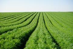 Green carrot Stock Photo