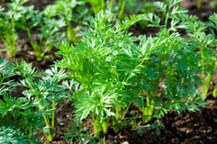Green carrot sprouts Royalty Free Stock Photo