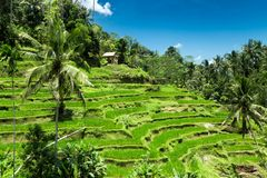 Green field rice terrace at Bali, Indonesia Stock Image
