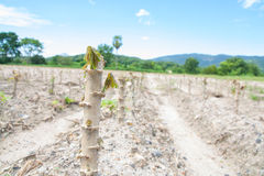 Green cassava field. In the nature sapling Royalty Free Stock Image