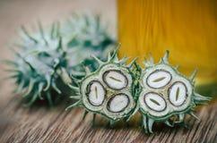 Green castor Stock Image