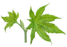 Green castor leaves Royalty Free Stock Photography