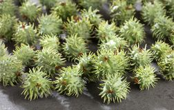 Green castor seeds - Ricinus communis. Top view. Green castor seeds - Ricinus communis royalty free stock images