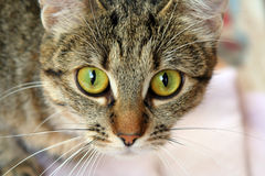 Green cat eye. Green eye of a brown cat. beautiful cat. house peat's stock images