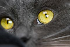 Green eye of a cat close up. Green cat eye wide open close-up full frame stock photography
