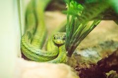 The green cat snake (Boiga cyanea) in snake farm and common name Stock Photos