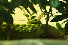 Green Cat Snake Royalty Free Stock Photo
